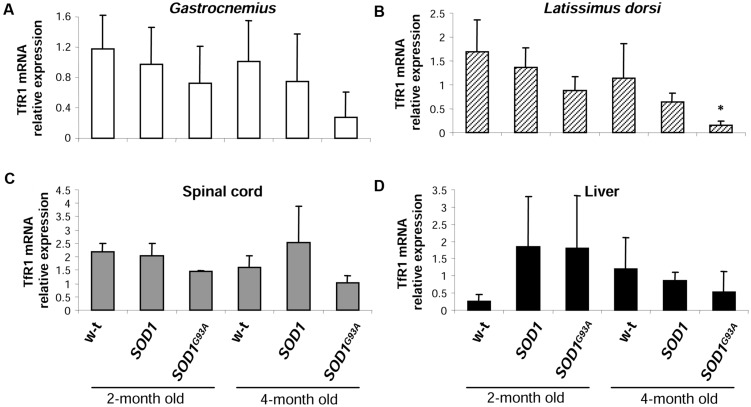 """Analysis of TfR1 mRNA abundance in tissues of experimental mice. TfR1 mRNA abundance in skeletal muscles (A,B) , spinal cord (C), and liver (D) was measured by real-time RT-PCR as described under """"Materials and methods."""" The histograms display TfR1 mRNA levels after normalization to 18S ribosomal RNA levels. Each column represents the mean ± SD of three biological amplification reactions. RNA from each mouse was extracted separately using TRIZOL reagent, reverse-transcribed and amplified as described in M M; therefore, 18 cDNA samples (biological triplicates for each condition) were finally used in the analysis of gene expression in each tissue. ∗ , significant difference versus wild-type in the group of symptomatic, 4-month-old mice ( P"""
