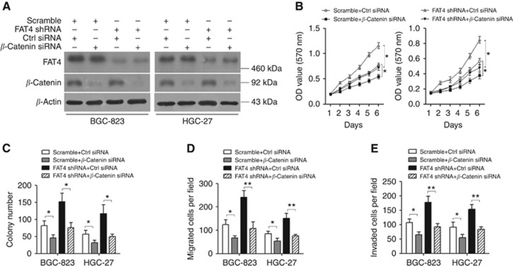 FAT4 knockdown-induced gastric cancer cell growth, invasion, and migration are mediated by the Wnt/ <t>β</t> -catenin signalling pathway. BGC-823 and HGC-27 cells were transfected with or without shRNA (shRNA1) against FAT4 and siRNA targeting β -catenin, and analysed by western blotting ( A ), MTT assay ( B ), colony-formation assay ( C ), and migration and invasion assays ( D and E ). * P