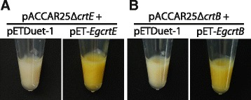 Color complementation experiments in E. coli with the P. ananatis carotenoid synthetic gene cluster. a E. coli carrying pACCAR25Δ crtE [ 22 ] with pETDuet-1 (vector control) or pET- EgcrtE . b E. coli cells carrying pACCAR25Δ crtB [ 23 ] with pETDuet-1 (vector control) or pET- EgcrtB. E. coli strain BL21(DE3) was used as the host. Data are representative of at least eight E. coli transformants with similar results