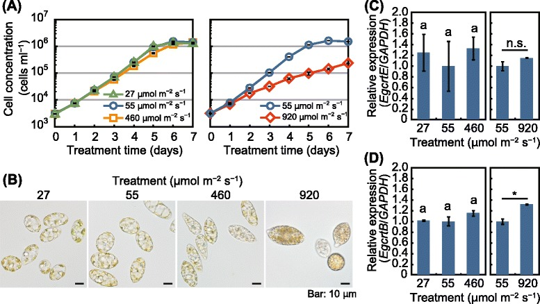 Effects of light intensity on crtE and crtB expression levels in E. gracilis . a Time-course of cell concentration of E. gracilis grown under continuous light at 27, 55, 460, and 920 μmol m −2 s −1 at 25 °C. b Cells of the alga cultured under the indicated light-stress treatments for 7 days. c and d Expression levels of EgcrtE ( c ) and EgcrtB ( d ) in the algal cells treated with the 7-day light-stress treatments. Data are the mean ± SE ( n = 3). Data are representative of at least two individual experiments with similar results. Bars labeled with the same letter are not significantly different (Tukey's multiple range test, P