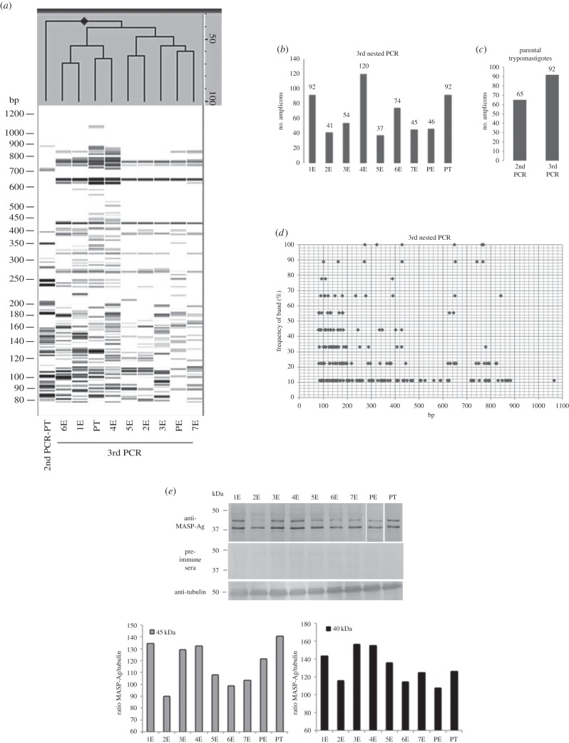Analysis of MASP clonal expression by capillary electrophoresis and western blot. ( a ) In silico gel obtained by PCR fingerprinting analysing PCR products of three-step nested PCR for each isogenic line. On the top, a dendogram based on the similarity of the MASP amplicons pattern. The distances are measured at the right side of the dendogram with the percentage of similarity among the samples. ( b ) Bar graph representing the number of MASP amplicons obtained in the third step of the nested PCR for each clone and the parental strain. ( c ) Number of amplicons obtained from the second and the third steps of the nested PCR in the trypomastigotes of the parental cell line. ( d ) Frequency of bands according to their size amplified from the third nested PCR of the epimastigote stage for all the clones and from the epimastigote and trypomastigote forms of the parental cell line. ( e ) Western blot analysis of total protein extracts from the epimastigote forms of all the clones, and the epimastigote and trypomastigote stage of the parental strain using anti-MASP-Ag mouse antisera. Anti-tubulin sera were used as loading control and pre-immune sera as negative control. Below, bar graphs representing the ratio 45 kDa/tubulin and 40 kDa/tubulin. Second PCR and third PCR are the products of the second and third PCRs of the three-step nested PCR; 1E–7E, name of each epimastigote clonal population; PE, epimastigote forms of the parental cell line; PT, trypomastigote forms of the parental cell line.