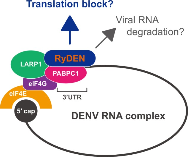 Possible models for RyDEN's mechanism of action in the suppression of DENV infection. During DENV replication, PABPC1 and LARP1 are recruited to viral RNA, form a closed-loop structure of viral RNA with a cap-binding complex that includes eIF4G and eIF4E, and serve as positive regulators for the translation of viral proteins. RyDEN, whose expression is upregulated by IFN, specifically recognizes the DENV translation complex via interaction with viral RNA and PABPC1/LARP1. This interaction may interfere with the protein translation machinery of DENV RNA. Additionally, functions of PABPC1 and LARP1 in the regulation of mRNA turnover may be enhanced by interaction with RyDEN, resulting in the degradation of viral RNA in cytoplasmic foci such as P-bodies.