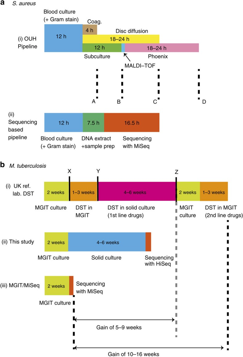 Timelines for sequencing-based analysis and culture-based DST. The timelines are shown for ( a ) S . aureus and ( b ) M . tuberculosis . In ( a ) both culture-based ( a ,i) and sequencing-based ( a ,ii) options involve 12 h of blood culture. After this, the culture-based approach (at Oxford University Hospitals clinical laboratory) follows with a direct coagulase test (Coag.) that provides a presumptive species identification at 4 h (marked 'A'). Concurrently, blood culture is subcultured to blood agar, and MALDI-TOF confirms the species at 12 h ('B'). A disc diffusion test for five antimicrobials (including methicillin) is performed directly from a positive blood culture providing first-line susceptibility information 18–24 h later ('C'), assuming an acceptable inoculum. Finally, post-subculture samples are undergo extended susceptibility testing by automated broth microdilution (brandname 'Phoenix'), giving final results after another 18–24 h ('D'). For the sequencing-based workflow ( a ,ii), the DNA extraction plus sample preparation takes 7.5 h because samples are from blood culture, not colony isolates. With the Illumina MiSeq v3 reagents, a 16.5 h run is possible (giving paired 75 bp reads, adequate for this purpose), giving full susceptibility results at the same time as direct disc tests provide results for five drugs. ( b ) The culture-based process ( b ,i; in a typical UK reference laboratory) starts with two weeks of mycobacterial growth indicator tube (MGIT) culture, followed by a species identification test ('X'). If the species belongs to the MTBC, then DST is run in MGIT, and at decision point 'Y', if the sample tests susceptible to all first-line drugs, no further testing is done. MGIT DST is repeated for pyrazinamide if the first test revealed resistance to this drug. If there is resistance to any other drug, then solid culture DST is performed. If these tests show there is resistance to rifampicin then another round of MGIT culture followed by MGIT