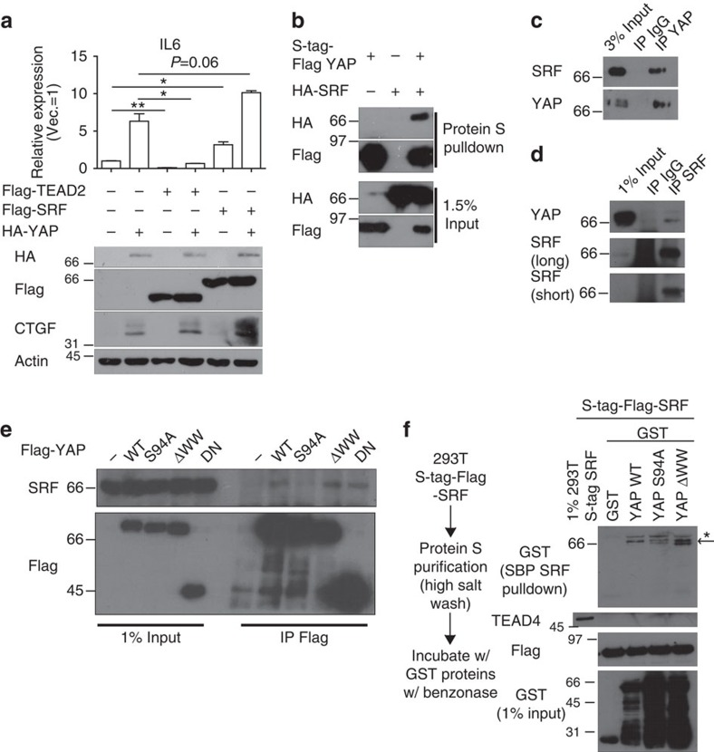 SRF interacts with YAP. ( a ) Western blot and qRT–PCR analyses ( n =2 replicates) of MCF-10A cells coexpressing YAP and TEAD2/SRF. Note that SRF, but not TEAD2, synergized with YAP in promoting IL6 expression. ( b ) Western blot showing YAP–SRF co-immunoprecipitation with SRF- and/or YAP-overexpressing 293T cell extract crosslinked with dithiobis(succinimidyl propionate) (DSP). ( c , d ) Western blot showing endogenous YAP–SRF co-immunoprecipitation with ( c ) YAP antibody or ( d ) SRF antibody in 293T cell extract crosslinked with DSP. ( e ) Western blot showing co-immunoprecipitation with the indicated Flag-tagged mutant YAP and SRF. Note that YAP S94A fails to bind SRF. ( f ) In vitro pulldown assay with purified S-tag-Flag-SRF and bacterially purified GST-tagged YAP mutants. Asterisk indicates nonspecific bands, and the arrow indicates the desired band.