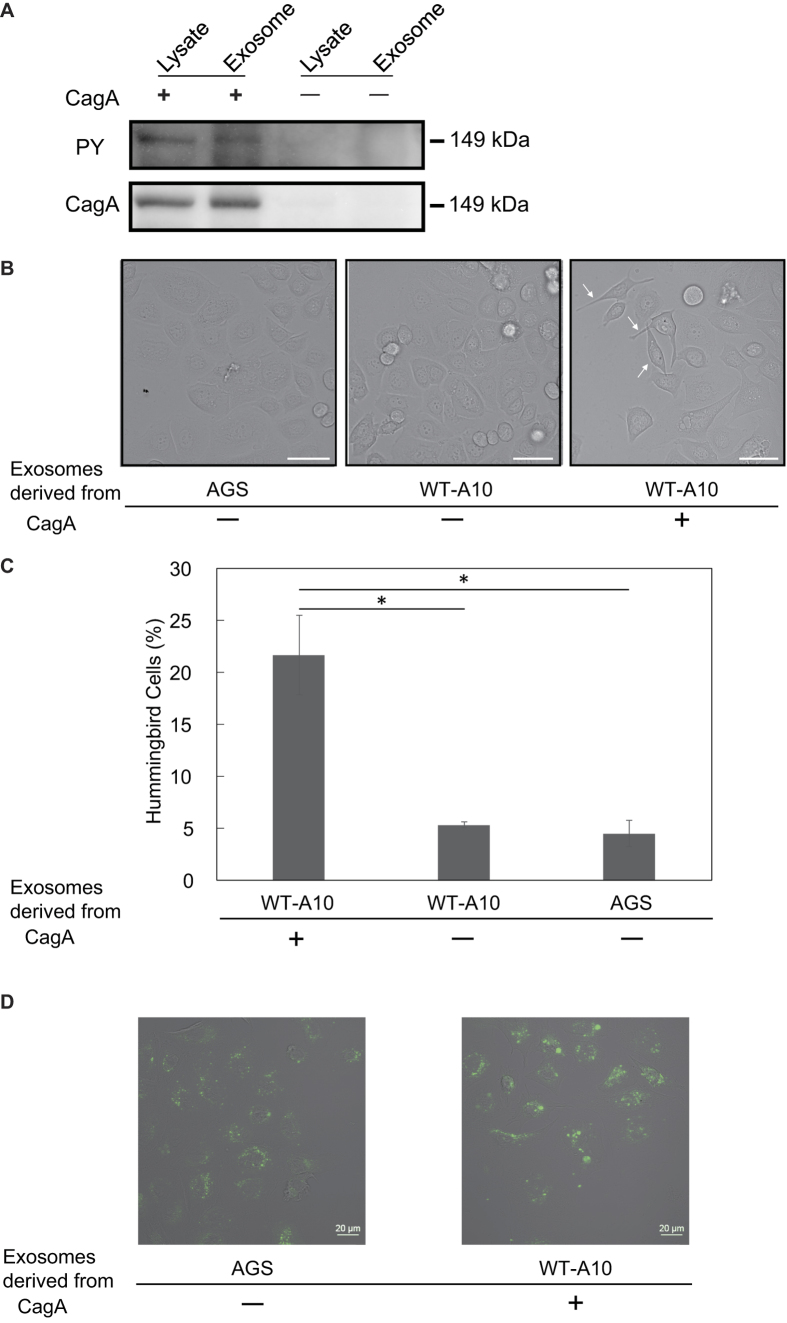 CagA-positive exosomes induced morphological changes in AGS cells. ( A ) Detection of tyrosine-phosphorylated CagA in whole cell lysates and exosomes by western blotting using an anti-phosphotyrosine antibody. The same membrane blot was stripped and reprobed with anti-CagA antibody. ( B ) AGS-derived exosomes, WT-A10-derived CagA-negative exosomes, and WT-A10-derived CagA-positive exosomes were added to AGS cells (5 μg protein/ 3.5 × 10 4 cells), and cell morphologies were observed by light microscopy. Arrows indicate the hummingbird phenotype. Scale bar = 50 μm. ( C ) The percentages of hummingbird cells induced by CagA-negative and CagA-positive exosomes were calculated. Error bars indicate the mean ± SD (n = 3); * p