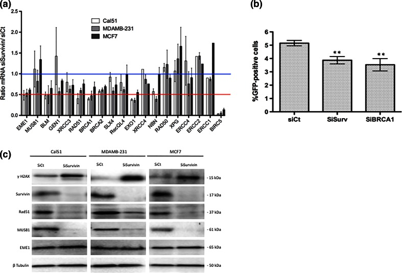 Survivin silencing impaired DNA repair by homologous recombination. a qPCR analysis of a set of genes involved in DNA damage repair in Cal51, MDAMB-231, and MCF7 cells depleted or not in Survivin. Data are presented as means (±sem) of ratios normalized to controls from three independent experiments. b HR activity was evaluated by GFP gene conversion assay using the genetically modified RG37 cell line. RG37 cells were first transfected with I-Sce-I coding plasmid, and 24 h later depleted in Survivin or BRCA1 using specific siRNA. After 48 h, % of GFP positive cells was assessed in each condition by flow cytometry and presented as means (±sem) from six independent experiments. c Breast cancer cell lines were depleted in Survivin (SiSurvivin) or not (SiCt) for 48 h and immunoblot analysis were performed to evaluate expression of MUS81/EME1 complex and <t>RAD51</t> proteins