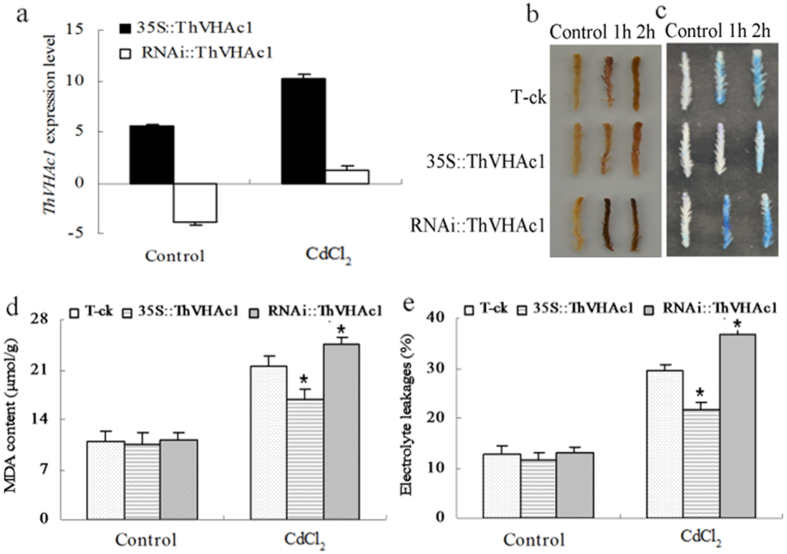 Analysis of transient expression of ThVHAc1 in T. hispida under 100 μM CdCl 2 treatment for 1 h and 2 h. ( a ) qRT-PCR analysis of ThVHAc1 in T. hispida seedlings transiently transformed with 35S::ThVHAc1, RNAi:: ThVHAc1 compared with T-ck. The relative expression levels were all log 2 transformed. ( b ) DAB staining. ( c ) Evans blue staining. ( d ) MDA content. ( e ) Electrolyte leakage. All data are displayed as the mean ± SD of three independent experiments, and significant differences between transgenic lines and WT (P