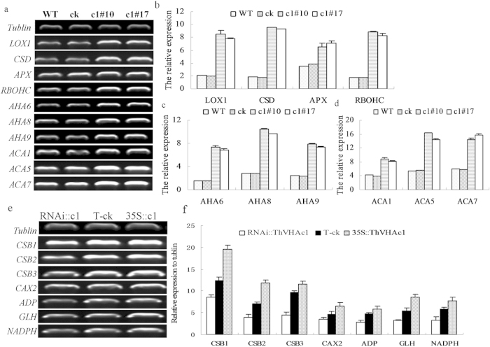 RT-PCR analysis of stress-related genes in Arabidopsis with heterologous expression of ThVHAc1 and in T. hispida with transient expression of ThVHAc1 . ( a ) Gel electrophoresis of AHA genes (At2g07560, At1g80660, At3g42640), ACA genes (At1g27770, At1g08065, At1g08080) and stress-related genes ( ACT (At3g18780), CSD (At1g08830), APX (At1g07890), RBOHC (At5g51060)). ( b–d ) Relative expression levels according to a. ( e ) Gel electrophoresis of CSB1-3 , CAX2 , ADP , GLH , NADPH . ( f ) Relative expression levels according to (e). All experiments were repeated three times. The data are shown as the means ± SD of three independent experiments.