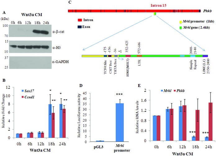 Down regulation of mrhl RNA upon Wnt3a CM treatment in Gc1-Spg cells. Mouse spermatogonial Gc1-Spg cells were treated with Wnt3a CM for different time durations (0, 6, 12, 18 and 24 h). ( A ) Western blot analysis (using nuclear lysate) for β-catenin. Presence of histone H3 and absence of GAPDH shows purity of nuclear fractions. ( B ) Expression analysis of Sox17 and Ccnd1 which are known targets of Wnt signaling during spermatogenesis. ( C ) Genomic organization of mrhl RNA gene embedded within the 15th intron of phkb gene. The locations of TATA box, CAT box and <t>TCF4</t> binding site are depicted in the 1 kb upstream promoter region of mrhl RNA gene while different repeat elements are shown in the body of mrhl RNA gene. ( D ) Luciferase activity of the 1kb upstream promoter region of mrhl RNA gene. ( E ) Expression analysis of mrhl RNA and phkb RNA upon Wnt3a CM treatment. For (B), (D) and (E) the data are plotted as mean ± SD, n = 4. *** P ≤ 0.0005, ** P ≤ 0.005, * P ≤ 0.05 ( t -test).