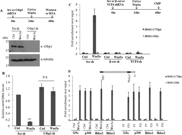 Ctbp1 functions as the co-repressor for mrhl RNA down regulation upon Wnt signaling activation. ( A ) Western blot showing significant down regulation of Ctbp1 upon shRNA treatment. ( B ) Mrhl RNA expression upon Ctbp1 down regulation. ( C ) Occupancy of Ctbp1 on mrhl RNA promoter upon down regulation of β-catenin or TCF4. ( D ) Occupancy of few of the known Ctbp1 associated proteins (G9a, p300, Hdac1 and Hdac2) on mrhl RNA promoter. Data are plotted as mean ± SD, n = 4. *** P ≤ 0.0005 ( t -test). N.S.: not significant.