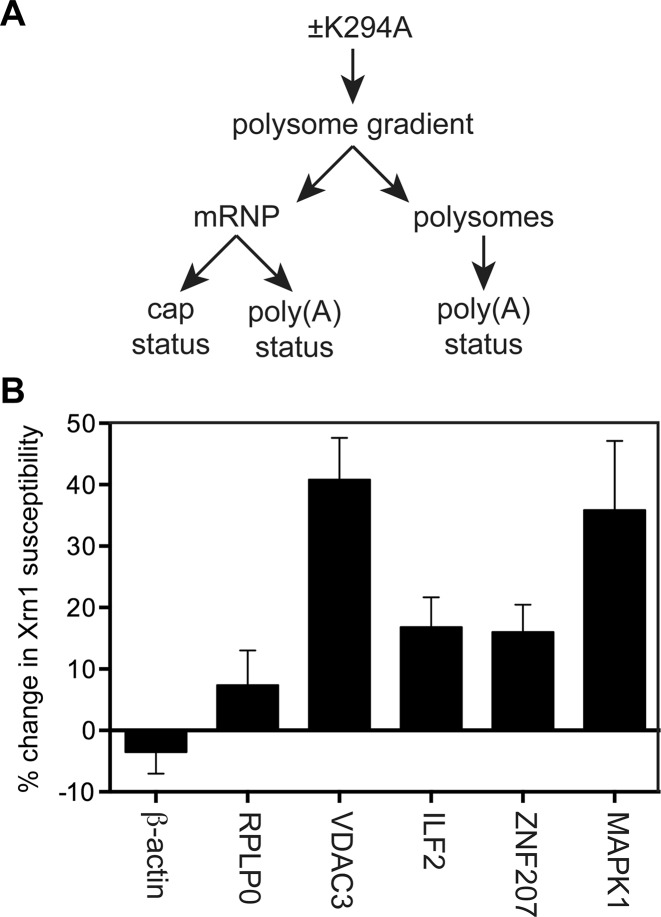 Appearance of uncapped forms of cytoplasmic capping targets in non-translating mRNPs. ( A ) Cytoplasmic extracts from uninduced and 12 h K294A-expressing cells were separated on linear sucrose gradients and pooled into mRNP and polysome fractions. ( B ) RNA recovered from the pooled mRNP was spiked with uncapped luciferase RNA as a control for Xrn1 digestion, and capped β-globin RNA as a control for sample recovery. Half of each sample was treated with Xrn1 to degrade uncapped RNAs ( 12 ) and the recovered RNA was assayed by RT-qPCR using primers located near the 5′ ends of luciferase, β-globin, β-actin, RPLP0,VDAC3, ILF2, ZNF207 and MAPK1 mRNA. Results were calculated as in ( 12 ) and are shown as the change in Xrn1 sensitivity of unaffected (β-actin, RPLP0) and target (VDAC3, ILF2, ZNF207 and MAPK1) mRNAs as a function of K294A expression.