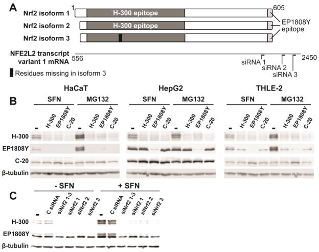 Immunodepletion and Nrf2 knockdown used to assess the primary band detected in HepG2 cells by EP1808Y (A) Schematic of the three Nrf2 isoforms from the three known alternatively-spliced transcripts with respect to H-300 and EP1808Y antibody epitopes. The transcript numbering aligns with that of the protein isoforms. Three commercially available siRNAs for Nrf2 mRNA target the indicated sites on the transcript. (B) HepG2 cells were treated with 5 μM SFN or 5 μM MG132 for 2 h, and whole cell lysates were immunodepleted with indicated antibodies, or beads alone (−). Depleted lysates were then analyzed by 10% Tris-glycine SDS PAGE and western blotting. The same blot was probed with H-300 and EP1808Y antibodies. Blots are representative of n = 3 biological replicates. (C) HepG2 cells were reverse transfected with siRNA (10 μM individual, 30 μM combined) for 24 h and then were treated with 5 μM SFN for 2 h. Whole cell lysates were analyzed by 10% Tris-glycine SDS PAGE and western blotting. The same blot was probed with H-300 and EP1808Y antibodies. C siRNA, control siRNA. Blot is representative of n = 2 biological replicates.