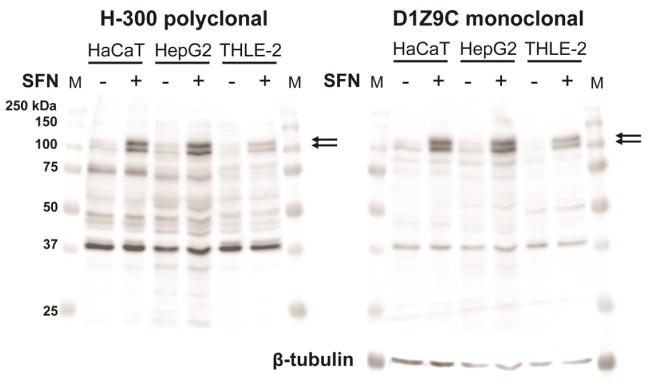 Comparison of D1Z9C monoclonal antibody with H-300 in the panel of cell lines Cells were treated with SFN, as indicated for 2 h, and whole cell lysates were analyzed by 10% Tris-glycine SDS PAGE and western blotting. Arrows indicate the location of bands that correspond to Nrf2 as indicated by their increase in response to SFN. Blots are representative of n = 2 biological replicates.