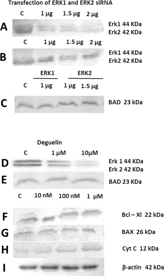 The figure shows the blotting of various proteins isolated from normal cells and those treated with various doses of either deguelin or transfected with siRNAs specific for silencing of ERK1/2. (A) Cells transfected with various doses of ERK-1 specific siRNA. (B) Cells transfected with various doses of ERK-2 specific siRNA. (C) BAD expression in cells transfected with either ERK-1 or ERK-2 siRNAs. (D) ERK-1 and ERK-2, (E) BAD, (F) Bcl-xl, (G) BAX and (H) Cytochrome-C levels in cells treated with various doses of deguelin. (I) The house-keeping control (β-actin).