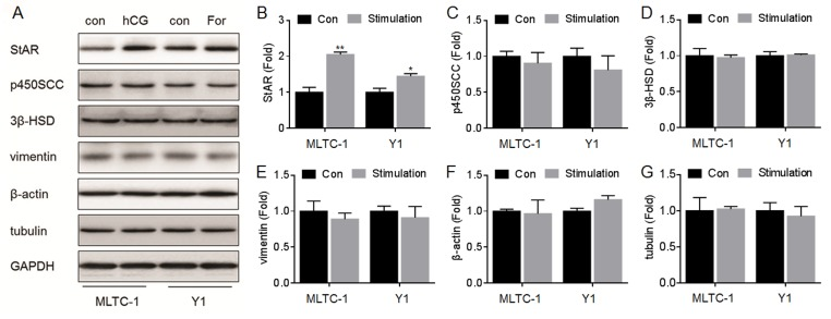 Effects of hCG/For on the expressions of StAR, p450scc, 3β-HSD, vimentin, β-actin, and tubulin. MLTC-1 and Y1 cells were exposed to 100 U/L hCG or to 10 μM forskolin for 24 h, respectively. (A) Western blots analysis and relative protein levels of (B) StAR, (C) p450SCC, (D) 3β-HSD, (E) vimentin, (F) β-actin, and (G) tubulin. *p