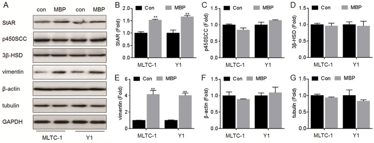 Effects of MBP on the expressions of StAR, p450scc, 3β-HSD, vimentin, β-actin, and tubulin. MLTC-1 and Y1 cells were treated by 1000 nM MBP for 24 h. (A) Western blots analysis and relative protein levels of (B) StAR, (C) p450SCC, (D) 3β-HSD, (E) vimentin, (F) β-actin, and (G) tubulin. **p