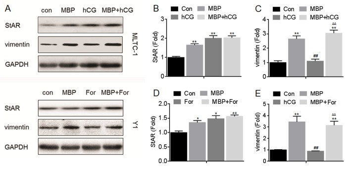 Effects of MBP and hCG/For on the expressions of StAR, p450scc, 3β-HSD, vimentin, β-actin, and tubulin. MLTC-1 and Y1 cells were exposed to1000 nM MBP in the absence or presence of 100 U/L hCG or 10 μM forskolin for 24 h, respectively. (A) Western blots analysis and relative protein levels of (B) StAR, (C) p450SCC, (D) 3β-HSD, (E) vimentin, (F) β-actin, and (G) tubulin. **p