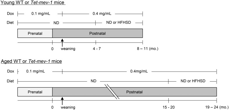 Experimental design. Male wild type ( WT ) and Tet-mev-1 mice had been continuously supplied with drinking water containing doxycycline (Dox ) at a concentration of either 0.1 mg/mL during the prenatal period (received through their mothers) or 0.4 mg/mL after weaning. They were divided into four groups (n = 8 in each group) which were subsequently fed a control, normal diet (ND ) or a high-fat/high-sucrose diet ( HFHSD ) at approximately either 1 ( upper ) or 2 years of age ( lower ). The mice were sacrificed under isoflurane anesthesia at the end of the 4-month feeding period, and the obtained serum and liver specimens were subjected to further analyses.
