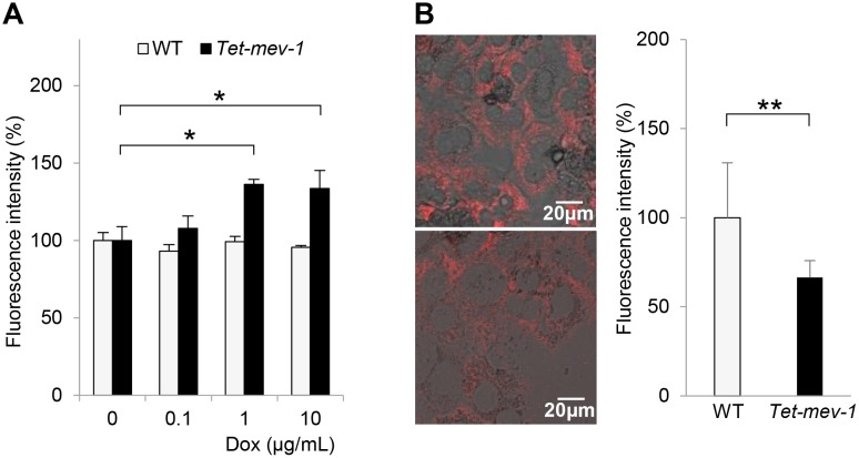Increased reactive oxygen species (ROS) production and decreased mitochondrial membrane potential in Tet-mev-1 hepatocytes. ( A ) Primary hepatocytes were isolated from 14-month-old male wild type ( WT ) or Tet-mev-1 mice that had been supplied with doxycycline-free water. After treatment with the indicated concentrations of doxycycline ( Dox ) for 72 hours, they were incubated with 100 μM dichlorofluorescein diacetate for 30 min. The fluorescence intensity was measured at 520 nm, and the values are expressed as means ± SD from six samples in each group. ( B ) Hepatocytes that had been isolated from the same mice used for the experiment shown in Fig 3A were incubated with 300 nM tetramethyl rhodamine methyl ester for 30 min. The fluorescence at 573 nm was viewed and analyzed using a confocal laser-scanning microscope with the same excitation strength and detection gain. Representative images are shown for hepatocytes obtained from wild type ( upper ) and Tet-mev-1 mice ( lower ). Scale bars , 20 μm. On the right side of the images, histograms indicating the values (means ± SD) of fluorescence intensities obtained from five randomly selected visual fields in each group are shown. The asterisks indicate that the differences between the groups are statistically significant (* p