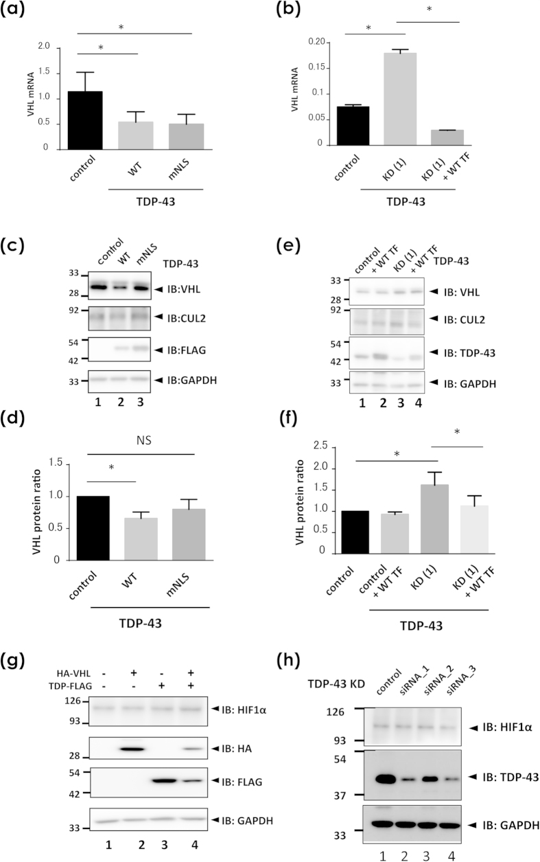 The role of TDP-43 in the expression of VHL, CUL2, and HIF1α. ( a–f ) Measurement of VHL in the presence of overexpression ( a,c,d ) or knock down ( b,e,f ) of TDP-43 in HEK293A cells. ( a,b ) Quantitative real-time PCR analysis of VHL expression in the presence of overexpression or knock down of TDP-43. HEK293A cells were transiently <t>transfected</t> with WT or mutant NLS TDP-43 ( a ) or siRNA oligonucleotides targeting TDP-43 ( b ). At 48 h and 96 h after transfection in ( a ) and ( b ), respectively, cells were harvested for <t>cDNA</t> generation from RNA. In ( b ), plasmid for WT TDP-43 was additionally introduced at 48 h before harvest for the rescue experiment. Each data point represents the average from three ( a ) and six ( b ) cultures (mean ± SD; *p