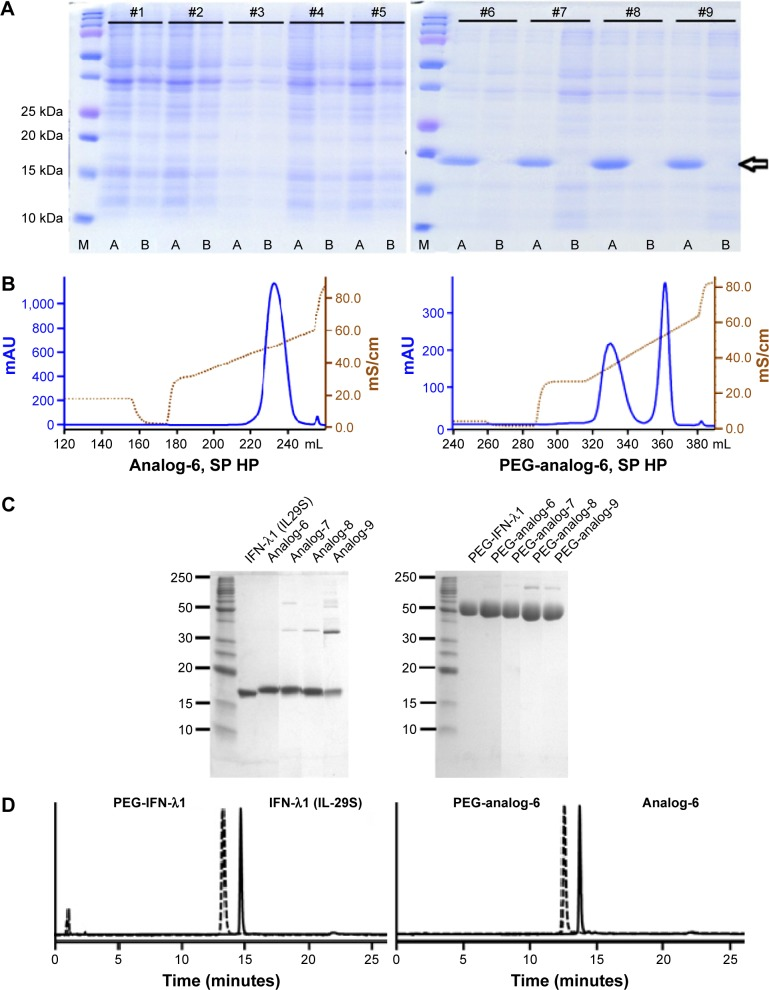 Analysis and characterization of expressed proteins. Notes: ( A ) SDS-PAGE gel analysis of small-scale expression of the nine designed analogs: the arrow on the right marks the position of the expected protein band; M: protein marker; A: IPTG-induced; B: uninduced. ( B ) Representative chromatographs of analog-6 (left) and PEG-analog-6 (right) eluted from the SP HP column. ( C ) SDS-PAGE gel analysis of purified proteins (left) and purified PEGylated proteins (right): the samples were undenatured and run in nonreducing conditions. ( D ) HPLC analysis of purified IFN-λ1 (IL-29S) (left) and analog-6 (right): the peak on the left represents the PEGylated protein, and the peak on the right represents the unmodified protein. Abbreviations: IFN, interferon; IPTG, isopropyl-β-D-thiogalactopyranoside; PEG-IFN, pegylated-interferon; SDS-PAGE, polyacrylamide gel electrophoresis.