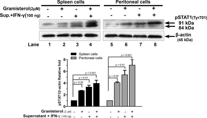 Pathway analysis of gramisterol effect on immune cells. Western blot analysis of pSTAT1 level in spleen cells (lanes 1–4) and peritoneal cells (lanes 5–8) after treatments with i) gramisterol, ii) culture supernatant containing cytokines released from RBDS-treated leukemic mice spleen cells plus a minor supplementation of cytokine IFN-γ, iii) the combination of both gramisterol and the cytokines. β-actin was used as an internal control. The experiment was performed in triplicate. The relative expression of pSTAT1 is shown as mean±SEM.