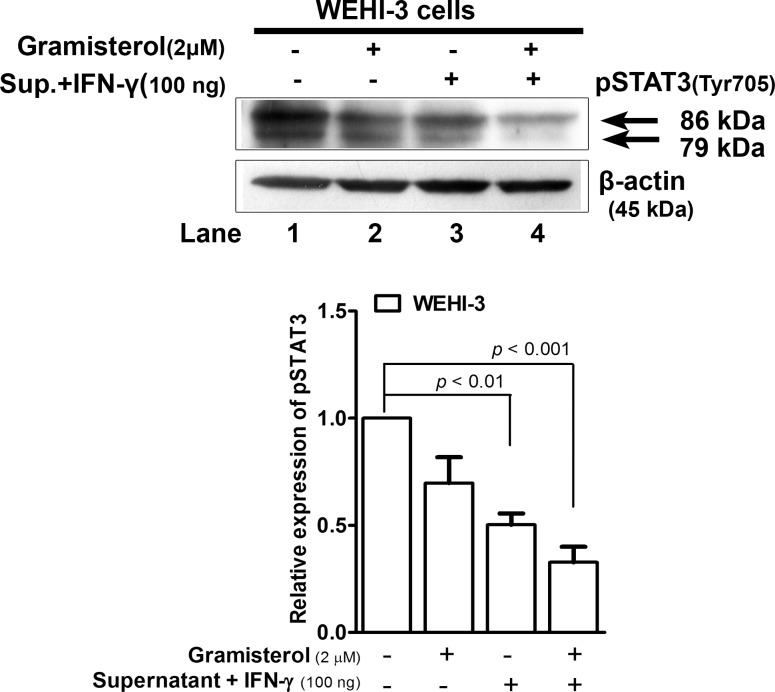Gramisterol and IFN-γ inhibited STAT3 phosphorylation in tumor cells. Western blot analysis of pSTAT3 signaling activation in WEHI-3 cells after treatment with i) gramisterol, ii) culture supernatant containing cytokines released from RBDS-treated leukemic mice spleen cells plus a minor supplementation of cytokine IFN-γ, iii) the combination of both gramisterol and the cytokines. β-actin was used as an internal control. The experiment was performed in triplicate. The relative expression of pSTAT3 was shown as mean±SEM.