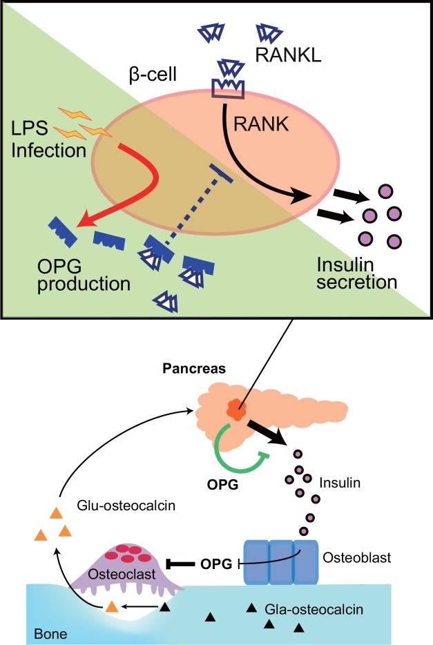 OPG inhibits insulin secretion from β-cells under inflammatory conditions. When β-cells are exposed to inflammatory stimuli, they secrete OPG, which blocks RANKL-RANK signaling. Both osteoblast- and β-cell-derived OPG negatively regulates insulin secretion. Lower panel was adopted from Wei and Karsenty (2015) [ 45 ]. Glu, undercarboxylated. Gla, carboxylated.