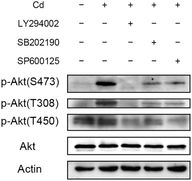 Effect of Cd on Akt phosphorylaion at different sites. HepG2 cells were treated with 50 μM of PI3K ((LY294002), p38 (SB202190) or JNK (SP600125) inhibitor 1 h prior to the addition of 5 μM Cd. Cells were cultured for additional 4 h then harvested and prepared for Western blotting. Antibodies raised specifically against phosphorylation at Thr308 [p-Akt(T308)], Thr450 [p-Akt(T450)] or Ser473 [p-Akt(S473)] of Akt were used for the analysis. Actin was used as a loading control for immunoblotting.