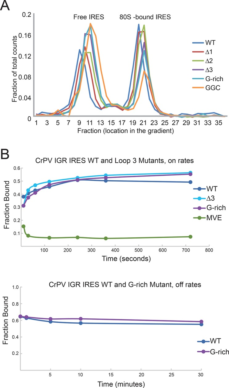 IGR IRES loop 3 mutants bind the 80S ribosomes. ( A ) Assembly of 80S ribosomes on CrPV intergenic region (IGR) IRES loop 3 mutants in rabbit reticulocyte lysate. Radiolabeled CrPV IRES RNAs were incubated in RRL supplemented with <t>hygromycin</t> B for 20 min before separation of initiation complexes on a 15–30% sucrose gradient. Free and 80S-bound IRES complexes are indicated. ( B ) Approximate on- and off-rates of IRES-ribosome binding measured by filter binding. The on-rate experiment measures the association of IRES with ribosomes or ribosomal subunits as a function of time. Pure shrimp ribosomes were used for the on-rate experiment. The off-rate experiment used unlabeled competitor IRES RNA to detect dissociation of IRES from ribosomes as a function of time. Purified yeast subunits were used for the off-rate experiment. DOI: http://dx.doi.org/10.7554/eLife.08146.010