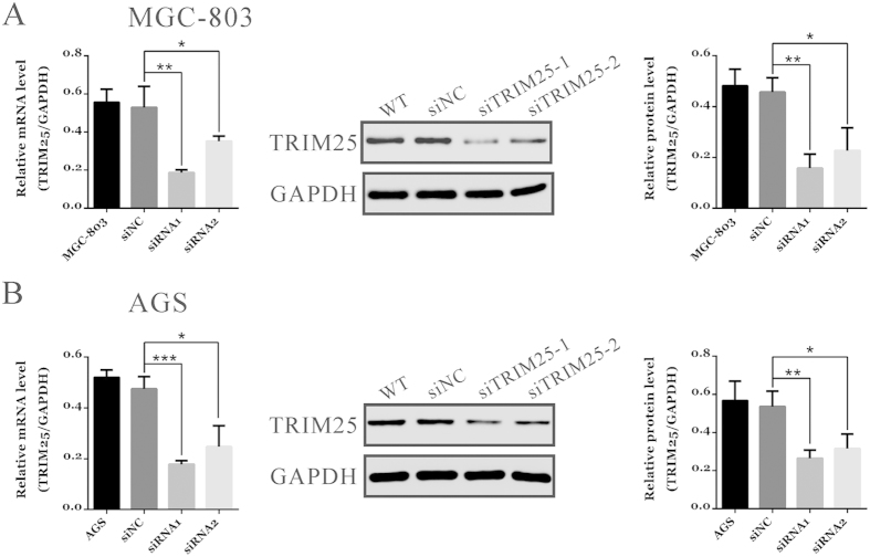 TRIM25 expression was suppressed by siRNA transfection in GC cells. Expression of TRIM25 in MGC-803 ( A ) and AGS cells ( B ) was analyzed by qRT-PCR (left panel) and immunoblotting (middle and right panels). WT: wild type cells; siNC: scrambled siRNA-transfected cells; siTRIM25-1, siTRIM25-2: TRIM25-siRNA-1 or TRIM25-siRNA-2 transfected cells (* P