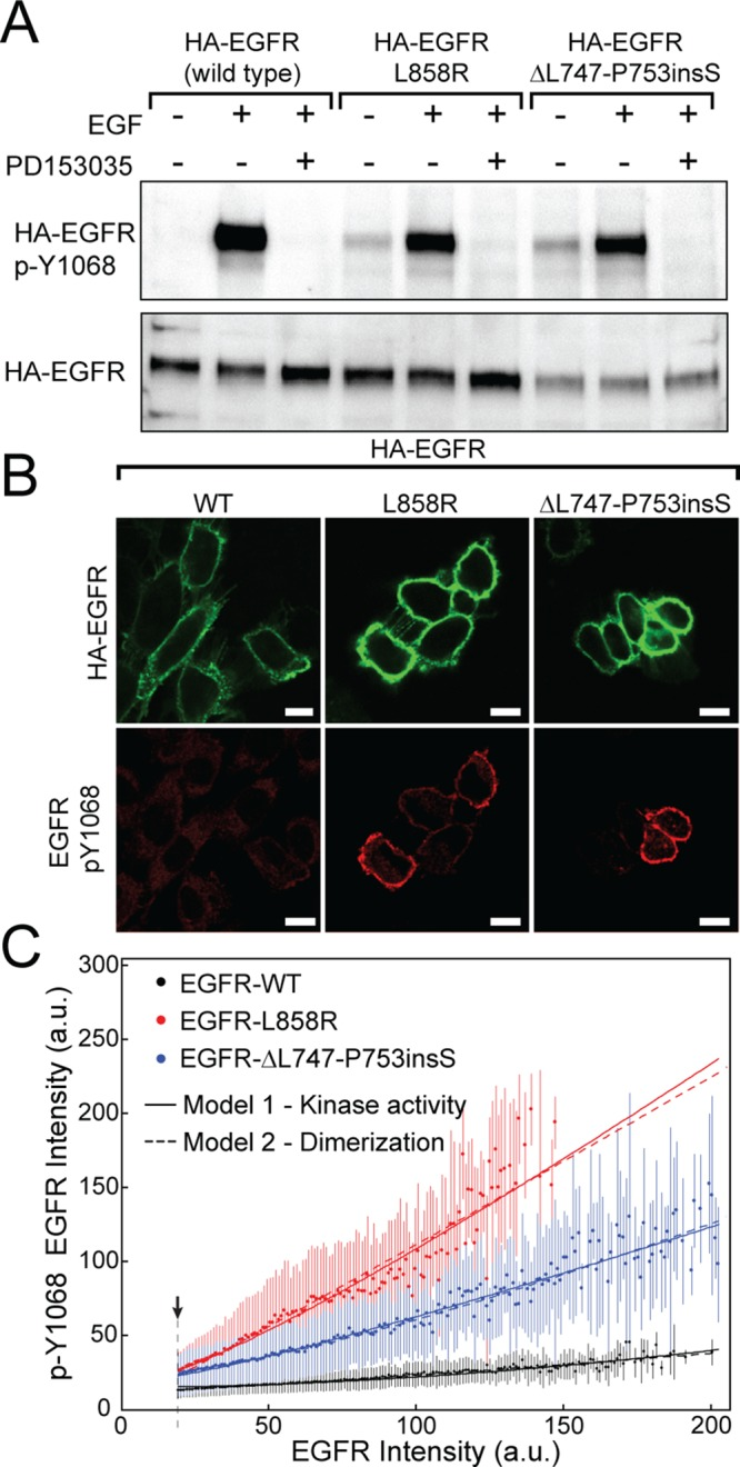 NSCLC-associated <t>EGFR</t> kinase domain mutants are constitutively active and show increased phosphorylation with increasing receptor expression. (A) <t>CHO</t> cells expressing HA-tagged EGFR (HA-EGFR): EGFR-WT, EGFR-L858R, or EGFR-ΔL747-P753insS were serum starved; this was followed by treatment without and with EGF. Cells were pretreated with TKI PD153035 (1 μM) as indicated. Lysates were probed for phosphorylated EGFR (top) as well as total EGFR (bottom). (B) CHO cells expressing the indicated EGFR construct were labeled with an FITC-labeled α-HA Fab (green), then fixed, permeabilized, and labeled using α-pY1068 (red). (C) Cells imaged as in B were quantified for EGFR expression and phosphorylation. Each data point represents the mean pY1068 fluorescence intensity for a given EGFR intensity value per pixel across multiple images after thresholding (arrowhead and dashed line) to eliminate contribution from cells with no detectable EGFR expression; error bars illustrate the SD of the measurement. Solid curves were obtained from model 1 (Eqs. 5 and 6 with the constraints on parameter values indicated in the Supplemental Methods); these curves reflect differences in the kinase activities of mutant and WT forms of EGFR. Dashed curves were obtained from model 2 (Eqs. 5 and 6 with the constraints on parameter values indicated in the Supplemental Methods); these curves reflect differences in dimerization affinities of mutant and WT forms of EGFR. Best-fit values for models 1 and 2 and confidence limits from bootstrapping are given in Supplemental Table S3. Individual plots for EGFR-WT, EGFR-L858R, and EGFR- ΔL747-P753insS are shown in Supplemental Figure S2. A complete description each model is provided in the Supplementary Note.