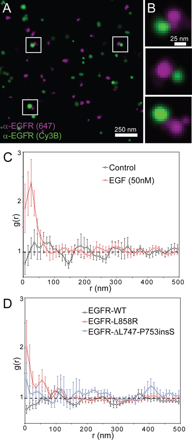 Two-color dSTORM superresolution imaging shows ligand-induced EGFR dimerization and ligand-independent dimerization of EGFR mutants. (A) Representative two-color dSTORM-reconstructed image of a CHO cell expressing EGFR-WT in the presence of EGF, fixed and labeled with a monoclonal anti-EGFR antibody conjugated with either Alexa Fluor 647 (magenta) or Cy3B (green). Shown is a reconstructed superresolution image, in which each localization is represented as a two-dimensional Gaussian with σ proportional to its localization precision. The mean localization precisions for Alexa Fluor 647 and Cy3B are ∼10 and 12 nm, respectively. (B) Zoomed regions of A highlighting potential EGFR dimers (white boxes) separated by
