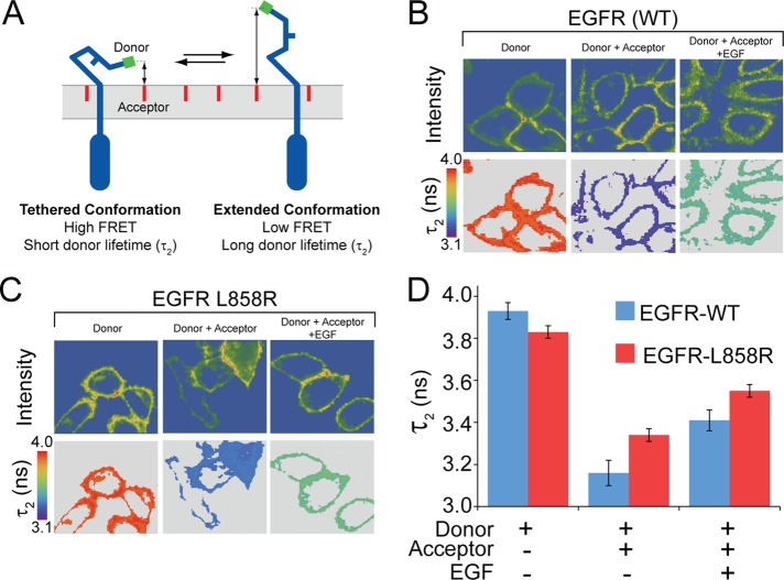 FRET-FLIM reveals that unliganded EGFR-L858R adopts the extended conformation and requires ectodomain interactions for signaling. (A) Schematic of the EGFR ectodomain in the tethered, autoinhibited conformation (left) and the extended conformation (right). The donor fluorophore (Oregon Green 488, green) is covalently linked at the EGFR N-terminus via a small ACP tag, and the acceptor fluorophore (NR12S, a derivate of Nile Red, red) is embedded in the outer leaflet of the plasma membrane. The relative apparent separation between the EGFR N-terminus and the plasma membrane was determined by measuring FRET between donor and acceptor. (B and C) Images of EGFR-WT (B) or EGFR-L858R (C) cells labeled with donor only (left), donor with acceptor (middle), and donor with acceptor in the presence of EGF (right). Shown are the masked intensity images restricted primarily to the plasma membrane (top) and donor fluorescence lifetime values, τ 2 , corresponding to the masked pixels (bottom). (D) Donor fluorescence lifetime values were averaged over many cells from five to six independent experiments for EGFR-WT and EGFR-L858R ± 2 μM NR12S acceptor and ± 30 nM EGF. Fluorescence lifetime results are summarized in Supplemental Table S2.