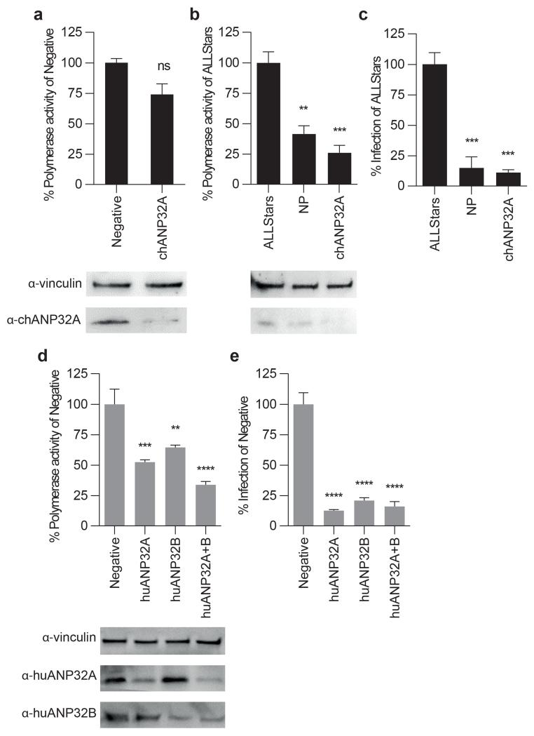 Knockdown of ANP32 reveals avian influenza polymerase dependence on chANP32A and dependence on huANP32A and B in human cells by human adapted influenza polymerase a, DF-1 cells transduced with VSV-G lentiviral vectors delivering transgenes expressing puromycin and shRNA targeting chANP32A or Negative. Puromycin selected cells transfected with pCOM1-firefly minigenome reporter, avian 50-92 polymerase (627E), and Renilla expression control . b, siRNA (100nM) applied to DF-1 chANP32A shRNA cells. After 48hrs, cells transfected with avian 50-92 polymerase (627E), minigenome reporter and Renilla expression control. Luciferase activity measured 20hrs later. Knockdown in chicken DF-1 cells verified by immunoblotting using antibody against vinculin and chANP32A. c, DF-1 cells depleted of chANP32A by siRNA infected with avian-like influenza virus (PR8 virus bearing H5N1 Ty05 polymerase genes with PB2 627E, MOI 0.01). 24hrs later cell supernatants titrated for infectious virus by plaque assay on MDCK cells. d , 293T cells transduced with lentiviral vectors delivering transgenes expressing puromycin and shRNA targeting huANP32A, huANP32B, both huANP32A and B, or Negative. Puromycin selected cells transfected with, pHOM1-firefly minigenome reporter, human-adapted avian 50-92 polymerase (627K), and Renilla expression control.Luciferase activity measured after 20hrs. Knockdown in 293T cells verified immunoblotting using antibody against vinculin, huANP32A and huANP32B. (a,b d, data are firefly activity normalised to Renilla, plotted as % of Negative or Allstars; error as SEM; One-way ANOVA comparisons to ALLStars or Negative, ns= not significant, **p