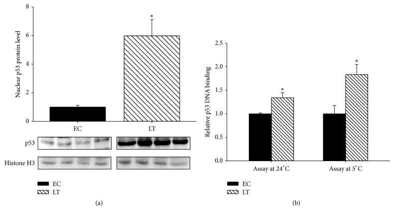 Nuclear regulation of p53 during late torpor. (a) Western blot is shown for nuclear levels of p53 and histone H3 during euthermic control and late torpor. (b) p53 DNA binding activity towards double stranded probe containing p53 consensus binding sequence (5′-GGACATGCCCGGGCATGTCC-3′) in control and late torpor nuclear lysates. Data show mean ± SEM, N = 4 independent trials on tissues from different animals. ∗ denotes significant statistical difference from EC values, p