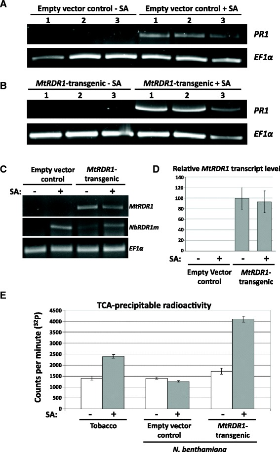 RDR activity, but not MtRDR1 transcript accumulation, is induced by SA treatment in MtRDR1 -transgenic N. benthamiana plants. Semi-quantitative RT-PCR analysis of PR1 transcript accumulation in leaves of ( a ) transgenic (empty vector) control and ( b ) MtRDR1 -transgenic plants infiltrated with a control solution of 0.05 % ( v/v ) ethanol or a solution of 1 mM SA in 0.05 % ( v/v ) ethanol. Infiltrated leaf tissue samples were harvested for RNA extraction at 72 h post-infiltration. PR1 transcript accumulation levels were determined by RT-PCR after 40 cycles of PCR and compared relative to the accumulation levels of the elongation factor 1 alpha ( EF1α ) transcript. Increased PR1 accumulation confirmed that SA was taken up by the tissues and was effective in inducing transcriptional changes. c Semi-quantitative RT-PCR analysis showed that there was little difference in MtRDR1 transcript accumulation in MtRDR1 -transgenic plants infiltrated with control solution or 1 mM SA. NbRDR1m transcript accumulation was up-regulated in both transgenic control and MtRDR1 -transgenic N. benthamiana plants after SA treatment, although the NbRDR1m protein itself is non-functional. MtRDR1 and NbRDR1m transcript accumulation levels after 27 and 35 cycles, respectively, were compared relative to the accumulation levels of EF1α . Infiltrated tissue samples were harvested at 72 h post-infiltration. d RT-qPCR analysis of MtRDR1 transcript levels in leaves of empty vector control and MtRDR1 -transgenic plants infiltrated with water control or 1 mM SA solution. MtRDR1 was not detected in empty vector control plants. Mean values for relative MtRDR1 levels (based on duplicate technical replicate values; 100 = mean value for the transcript level in untreated MtRDR1 plants) obtained from three plants (one plant = one independent sample) have been given for each treatment group. Error bars represent standard errors of the mean for the three samples. Relative transcript levels of MtRDR1 were calc