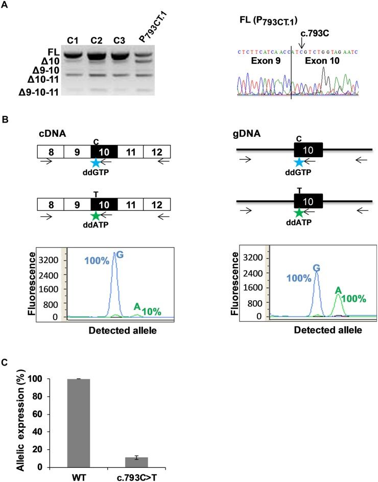 Detection of aberrant splicing in the blood cells of a patient carrying MLH1 c.793C > T variant. (A) Comparative RT-PCR analysis of fresh blood RNA samples obtained from 3 healthy control individuals (C1, C2 and C3) and from a patient carrying the heterozygous variant MLH1 c.793C > T (P 793CT.1 ). RT-PCR reactions were performed with primers mapping to MLH1 exon 8 (forward primer) and exon 12 (reverse primer), as described under Materials and Methods. The panel on the left shows the RT-PCR products separated on a 2% agarose gel, and is representative of 3 independent experiments. RT-PCR product identifiers are indicated on the left of the gel. The sequence on the right refers to the FL product obtained from patient P 793CT.1 , with a vertical line indicating the junction between exons 9 and 10. FL, full-length; Δ, exon skipping. (B) Allele-specific expression of MLH1 in the blood cells of patient P 793CT.1 carrying the heterozygous variant MLH1 c.793C > T. PCR, RT-PCR and primer extension reactions were performed as described under Materials and Methods, and are schematically represented above the graphs. The discriminating nucleotides C and T are indicated. Boxes represent exons, lines indicate intronic sequences, and arrows symbolize reaction primers. The discriminating fluorophore-labeled ddG and ddA terminators, incorporated into the noncoding strand at the c.793 position, are represented by stars. Results from complementary DNA (cDNA) analysis and genomic DNA (gDNA) are shown on the left-hand and on the right-hand graphs, respectively. Results (peak areas) obtained with cDNA were normalized to those obtained with gDNA and are expressed, in the left-hand graph, as relative level (in percentage) of FL transcripts produced by each MLH1 allele. (C) Relative contribution of each allele to the expression of full-length MLH1 transcripts in the blood cells of patient P 793CT.1 carrying the heterozygous variant MLH1 c.793C > T. The graph displays the expression level of