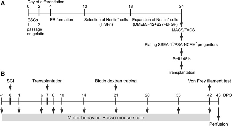 General scheme of ESC differentiation and experimental outline of study. a After two passages on gelatin, ESC differentiation started with EB formation, followed by selection of Nestin + cells in ITSFn medium and subsequent expansion in DMEM/F12 + B27 medium in the presence of bFGF. On day 24 of differentiation, cells were purified by FACS and MACS to yield a population of SSEA-1 – /PSA-NCAM + progenitors, which were labeled with BrdU for 48 hours prior to transplantation. b Transplantation was performed on DPO7, the surgery for biotin dextran tracing took place on DPO21, and the von Frey filament test immediately before perfusion on DPO42. Motor behavior by BMS scoring was tested 1 day prior to SCI (DPO–1) and on DPO1, 6, 8, 10, 14, 21, 28, 35, and 42. bFGF basic fibroblast growth factor, BrdU 5-bromo-2′-deoxyuridine, DMEM Dulbecco's modified Eagle's medium, DPO days post operation, EB embryoid body, ESC embryonic stem cell, FACS , fluorescence-activated cell sorting, ITSFn insulin, transferrin, selenium chloride, fibronectin, MACS magnetic-activated cell sorting, PSA-NCAM polysialylated neural cell adhesion molecule, SCI spinal cord injury, SSEA-1 stage-specific embryonic antigen-1