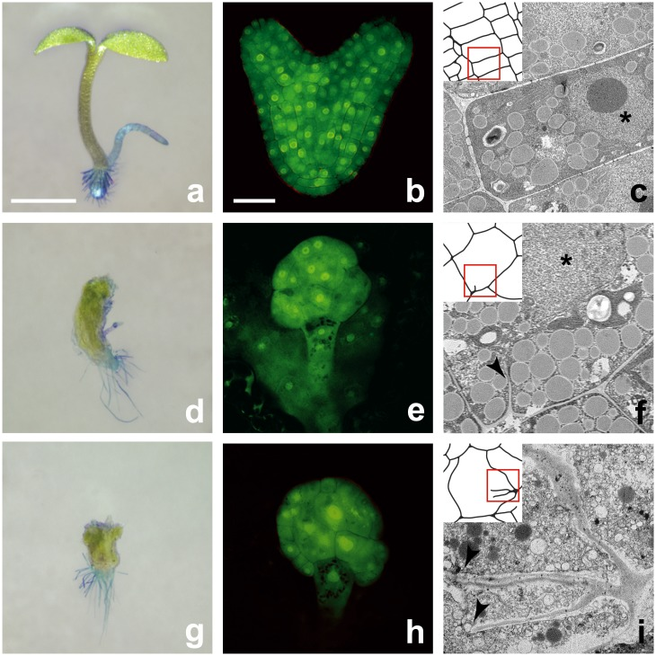 Morphological and ultra-structural characteristics of tio and rsw mutants. Left: Seedling morphology. Images of wild type ( a ) tio-12 ( d ) and rsw-lph ( e ) seedlings; root hairs were contrasted with methylene blue; scale bar equals 1 mm. Center: Anatomy of embryos. Confocal micrographs of wild type ( b ), tio-12 ( e ), and rsw-lph ( h ) embryos at the heart stage of development stained with Alexafluor 488 hydrazide; scale bar equals 30 μm. Right: Ultra-structure of embryonic cells. Transmission electron micrographs showing cells of wild type ( c ), tio-10 ( f ) and rsw-lph ( i ) embryos; the arrowheads point to cell wall stubs, and the stars in ( c ) and ( f ) mark the nucleus; the side of panels equals 10 μm.