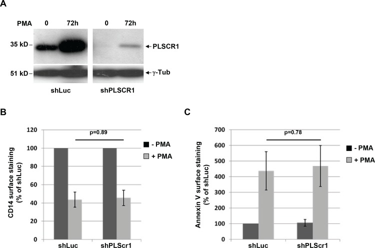 Monocyte-to-macrophage differentiation and cell surface phosphatidylserine exposure in PLSCR1-depleted cells. THP-1 cells were transduced with lentiviruses expressing shRNA against either PLSCR1 or Luciferase used as a control, and then cultured for 72 h with or without PMA as previously. (A) Lysates from shRNA-transduced THP-1 cells were analyzed by Western blotting with anti-PLSCR1 (upper panels) and anti-ɣ-tubulin (lower panels). (B and C) Cell surface expression of CD14 and PS exposure. Treated or untreated shRNA-transduced THP-1 cells were stained with FITC-conjugated anti-CD14 antibodies (B) or PE-conjugated Annexin-V (C), and surface expression was measured by flow cytometry. Results are expressed as the percentage of the MFI relative to the non differentiated control shLuc-transduced cells. Values are the means of 3 independent experiments. Error bars represent 1 SD from the mean. Statistical significance was determined using Student's t test (non significant, p > 0.05).