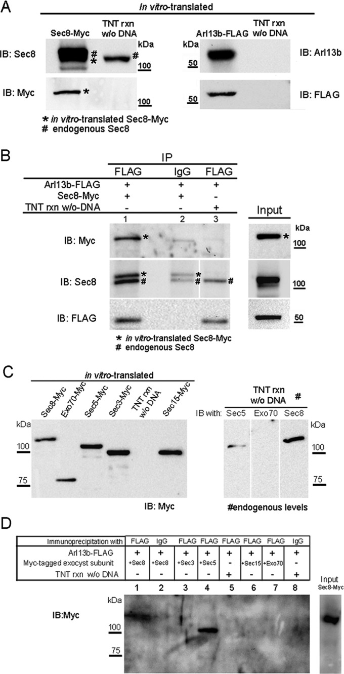 Arl13b interacts with the exocyst through the Sec5 and Sec8 subunits. (A) Sec8-Myc and Arl13b-FLAG were in vitro–translated using TNT T7 coupled reticulocyte lysate system. Five percent of the TNT reaction was resolved by SDS–PAGE and analyzed by immunoblotting with Sec8, Myc, Arl13b, or FLAG antibodies. As a control, a TNT reaction without DNA as template was performed and subsequently used in the immunoprecipitations to distinguish the in vitro–translated from the endogenous protein present in the reticulocyte lysate. (B) Immunoprecipitation with FLAG antibody was performed using the in vitro–translated proteins in the presence of GTPγS. Immunoprecipitates (lane 1) were analyzed by immunoblot with Myc, Sec8, or FLAG antibodies. As a negative control, immunoprecipitations were performed with an irrelevant mouse IgG1 (IgG; lane 2). In addition, as a control, immunoprecipitation with FLAG antibody was performed using as input a mixture of a TNT reaction made without DNA and the in vitro–translated Arl13b-FLAG in the presence of GTPγS (lane 3). Asterisks indicate in vitro–translated Sec8-Myc, and the pound signs indicate endogenous Sec8. (C) Left, Myc-tagged Sec3, Sec5, Sec8, Sec15, and Exo70 exocyst subunits were in vitro translated using the TNT system. Five percent of the TNT reaction was resolved by SDS–PAGE and analyzed by immunoblotting with Myc antibody. Right, endogenous levels of Sec5, Sec8, and Exo70 present on 5% of the TNT reaction were analyzed by immunoblotting with specific antibodies for each subunit. (D) Immunoprecipitation with FLAG antibody was performed using the in vitro–translated proteins described in C, in the presence of GTPγS. Immunoprecipitates were analyzed by immunoblot with Myc antibody or silver staining. Negative controls (lanes 2, 5. and 8) were performed as in B. Results are representative of three independent experiments.