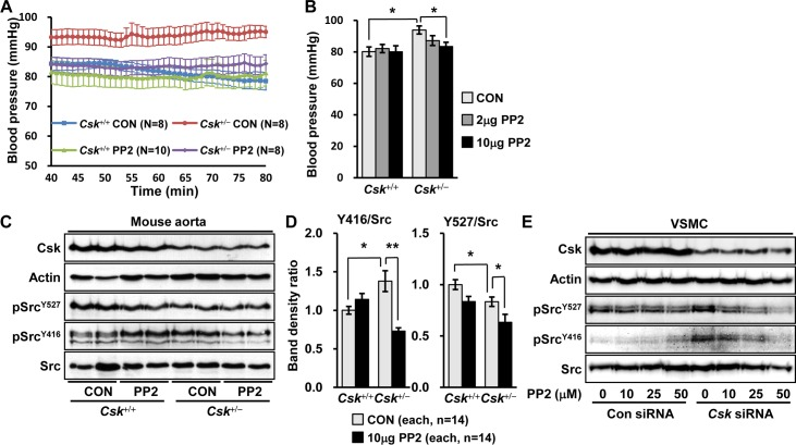 Decrease in blood pressure by <t>PP2,</t> a Src inhibitor in Csk +/- mice. (A) Csk +/- and Csk +/+ mice were i.p. injected with DMSO as control (CON) or PP2 (10 μg per kg body weight), a Src inhibitor, and blood pressure was measured 24 hours after injections. Blood pressure is expressed as the average value at each minute from 40 min to 80 min after anesthesia. (B) Blood pressure was measured in Csk +/- and Csk +/+ mice treated with DMSO or PP2 (2, and 10 μg per kg body weight) and the data is shown as the mean blood pressure for each group from 40 min to 80 min. (C) The representative blots of Csk and Src protein are shown following Western blotting in aorta of Csk +/- and Csk +/+ mice treated with DMSO or PP2 (10 μg per kg body weight). (D) Protein levels are presented as the ratio of protein band densities in Csk +/- aorta to the wild-type. (E) Human VSMC cells were transfected by Csk siRNA and then treated with DMSO or PP2 (10, 25, and 50 μM). Phosphorylated Src and Csk protein levels are shown following Western blotting.