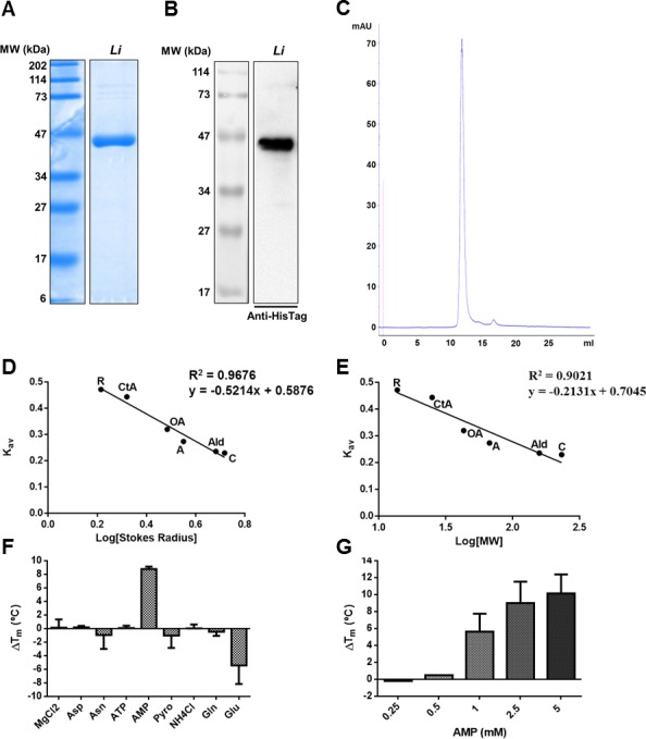 Analysis of recombinant Li AS-A. A) Coomassie blue stained 12% SDS-PAGE gel of 10 μg of recombinant Li AS-A post affinity chromatography purification. B) Western-blot analysis of 1 μg of purified recombinant Li AS-A using a rabbit anti-HisTag monoclonal antibody (1:1000). MW, molecular weight marker. C) Analytic size exclusion chromatogram of recombinant Li AS-A after purification by affinity, size exclusion and ion exchange chromatographies. D and E) Calibration curve for Li ASA Stokes' radius and MW determination, respectively. K av was determined considering the elution volume of the proteins used as standards, the total volume of the column and the exclusion volume given by the elution of blue dextran. The used standards were as follows: ribonuclease (R), chymotrypsinogen A (CtA), ovalbumin (OA), albumin (A), aldolase (Ald), catalase (C). Data is representative of two independent experiments. F and G) Differential scanning fluorimetry analysis of recombinant Li AS-A in the presence of several ligands, expressed in T m variation (∆T m - °C) determined as T m (protein + ligand)–T m (protein without ligand). F) Single ligand effect at 1 mM concentration: ATP, AMP, pyrophosphate (Pyro), ammonium chloride (NH 4 Cl), magnesium chloride (MgCl 2 ), asparagine (Asn), aspartate (Asp), glutamate (Glu), glutamine (Gln). G) Concentration dependent effect of AMP in Li AS-A stabilization. These results represent the mean values of two independent experiments plus the standard deviation.