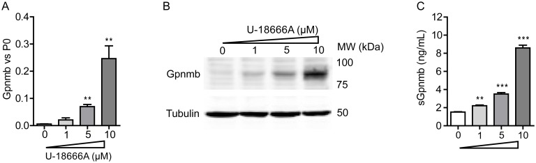 Gpnmb gene and protein expression are increased in macrophages exposed to U18666A. RAW264.7 murine macrophages were exposed to 1, 5 and 10 μM of U18666A for 24 h. (A) Gpnmb mRNA levels and (B) Gpnmb protein levels. (C) Soluble Gpnmb assayed by ELISA of the cell culture medium. Data ( n = 3 mean ± S.E.M.) were analysed using an unpaired t-test. * P