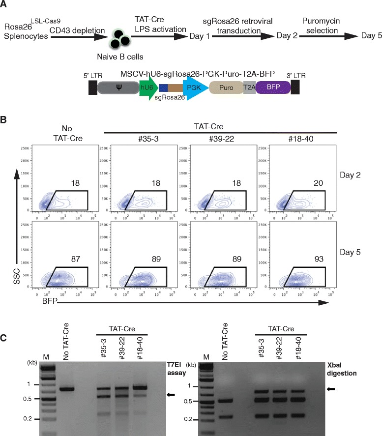 Cas9 is functional in B cells of Rosa26 LSL-Cas9 knock-in mice. a : Scheme of genome editing in primary mouse B cells using CRISPR/Cas9. Naive B cells from spleens of three individual heterozygous Rosa26 LSL-Cas9 F1 mice were isolated using CD43 depletion, treated with TAT-Cre and stimulated with LPS for 24 h. TAT-Cre/LPS treated B cells were transduced with retroviral particles co-expressing sgRosa26-1 and BFP to target the Rosa26 locus. One day later, the transduced B cells were selected with puromycin until day 5. b : FACS analysis of B cells (from a ) before (day 2) and after puromycin selection (day 5). The gate indicates the fraction (percentage) of successfully transduced BFP + cells. c : Gel electrophoresis of T7EI or XbaI digested PCR products (R26T7F/R26T7R primers) amplified from DNA of FACS sorted BFP + cells (from b ), indicating sequence deletions by the presence of T7EI sensitive or XbaI resistant bands (arrows)