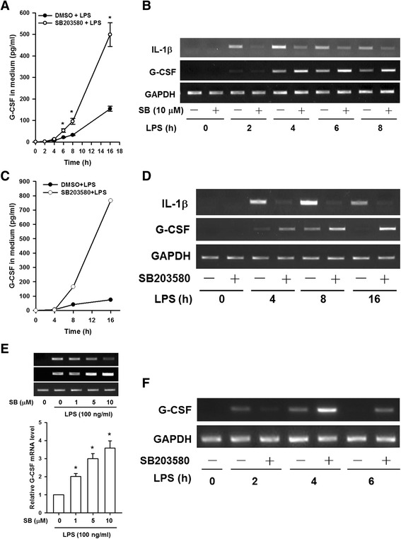 SB203580 enhances G-CSF expression in LPS-treated macrophages. RAW264.7 cells ( a and b ) and BMDMs ( c and d ) were incubated with DMSO (vehicle) or 10 μM SB203580 for 30 min, then 100 ng/ml of LPS was added and incubation continued for 0 to 16 h, then G-CSF protein levels in the medium were measured by ELISA ( a and c ) and G-CSF and IL-1β mRNA levels were determined by RT-PCR and analyzed by gel electrophoresis ( b and d ). ( e ) RAW264.7 cells were incubated with DMSO or 1, 5, or 10 μM SB203580 for 30 min, then LPS (100 ng/ml) was added and incubation continued for 6 h, then G-CSF and IL-1β mRNA levels were determined by RT-PCR ( upper panel ). Levels of G-CSF mRNA were determined by RT-qPCR ( lower panel ), normalized to GAPDH mRNA levels, and expressed relative to the value in the cells treated only with LPS, set as 1. ( f ) THP-1 macrophages were pretreated with DMSO or 10 μM SB203580 for 30 min, then LPS or PBS was added and incubation continued for 0 to 6 h. Total RNA was then isolated and levels of G-CSF and GAPDH (internal control) mRNA determined by RT-PCR and analyzed by gel electrophoresis. The results in ( a ) and ( e ) are the mean ± SD for three independent experiments. * p