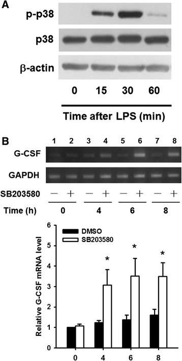 SB203580 induces G-CSF expression in RAW264.7 cells in the absence of LPS stimulation. a RAW264.7 cells were left untreated (lane 1) or were incubated with LPS for 15 to 60 min (lanes 2–4), then phosphorylated p38, total p38, and β-actin levels were analyzed by Western blotting. b RAW264.7 cells were incubated with DMSO or 10 μM SB203580 for 0 to 8 h, then levels of G-CSF and GAPDH (internal control) mRNA were determined by RT-PCR and analyzed by gel electrophoresis ( upper panels ). The G-CSF mRNA levels were normalized to those for GAPDH mRNA and expressed relative to the value in the DMSO-treated cells at 0 h (relative value = 1) ( lower panels ). The results are the mean ± SD for three independent experiments. * p