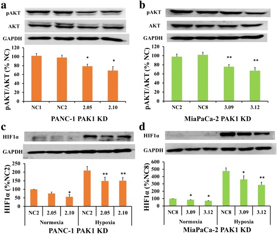 PAK1 knock-down (KD) inhibits expression of AKT and HIF1α. Expression of phospho-AKT (pAKT) was significantly reduced in the PAK1 KD clones: 2.05 and 2.10 (PANC-1 ( a )); and 3.09 and 3.12 (MiaPaCa-2 ( b )), compared to the negative controls (NC), as assessed by western blot. HIF1α expression was reduced in PANC-1 ( c ) and MiaPaCa-2 ( d ) PAK1 KD clones under normoxia and hypoxia (1 % O 2 ) conditions. The data represent mean ± SEM, summarised from three independent experiments. * p