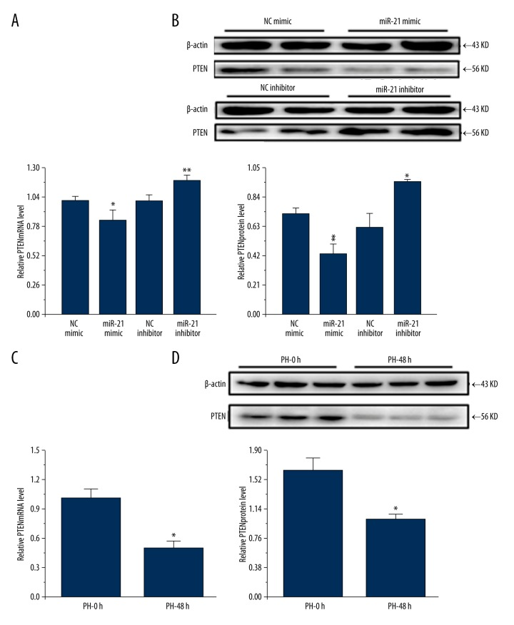 PTEN expression is inversely correlated with miR-21 both in vitro and in vivo . qRT-PCR ( A ) and Western blot ( B ) analysis showed that miR-21 negatively regulated PTEN expression at both mRNA and protein levels in BNL CL.2 cells in vitro (n=5 and n=3, respectively). A reduction of PTEN expression was also found at mRNA ( C ) and protein ( D ) levels in mouse livers at PH-48 h versus those at PH-0 h (n=5 and n=5, respectively). * P